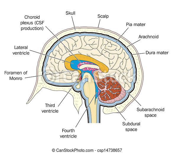 Cross-sectional human anatomy pdf 1960