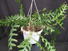 Epiphyllum oxypetalum care instructions